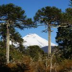 Outreach image, araucaria trees
